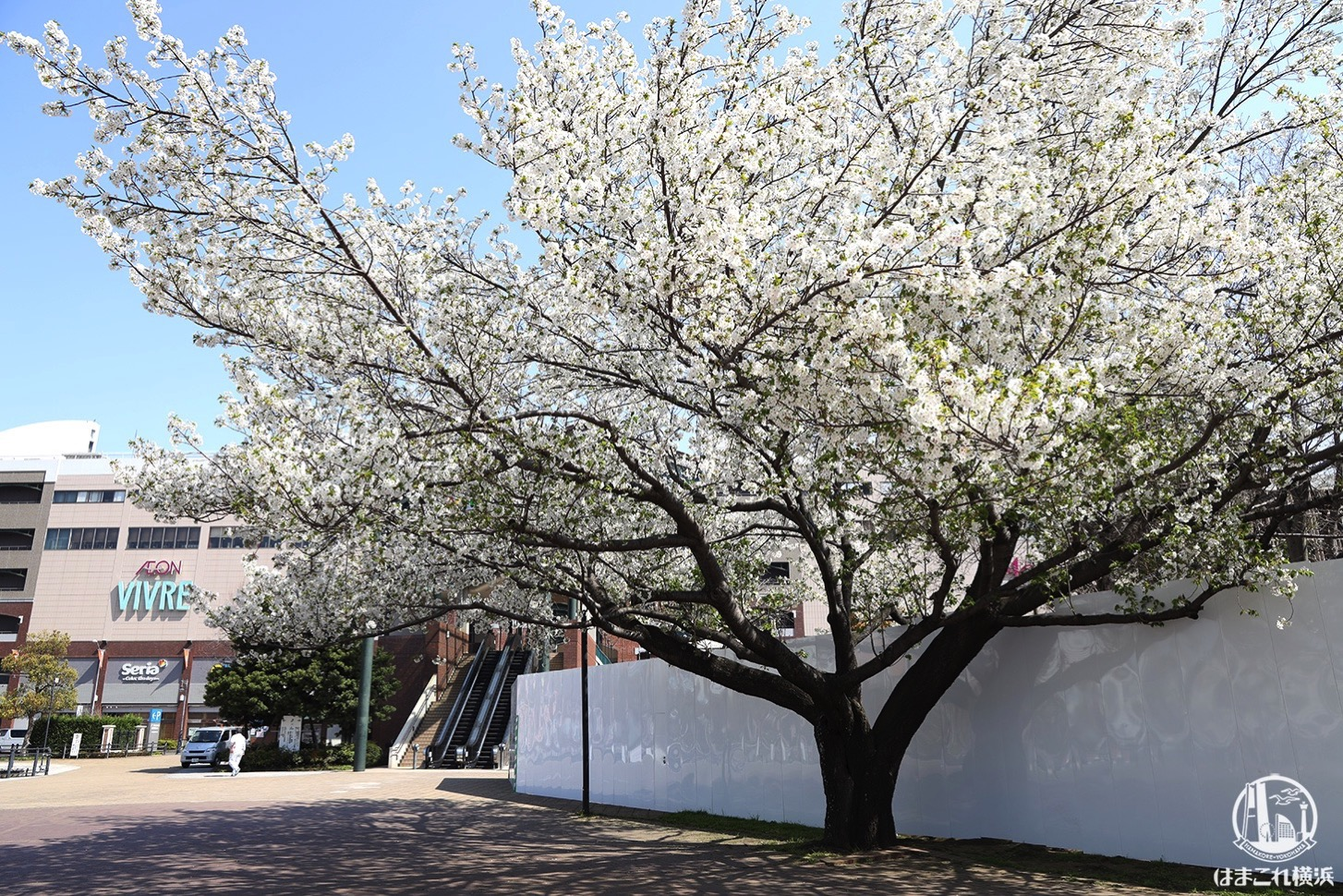 横浜ワールドポーターズ前の桜