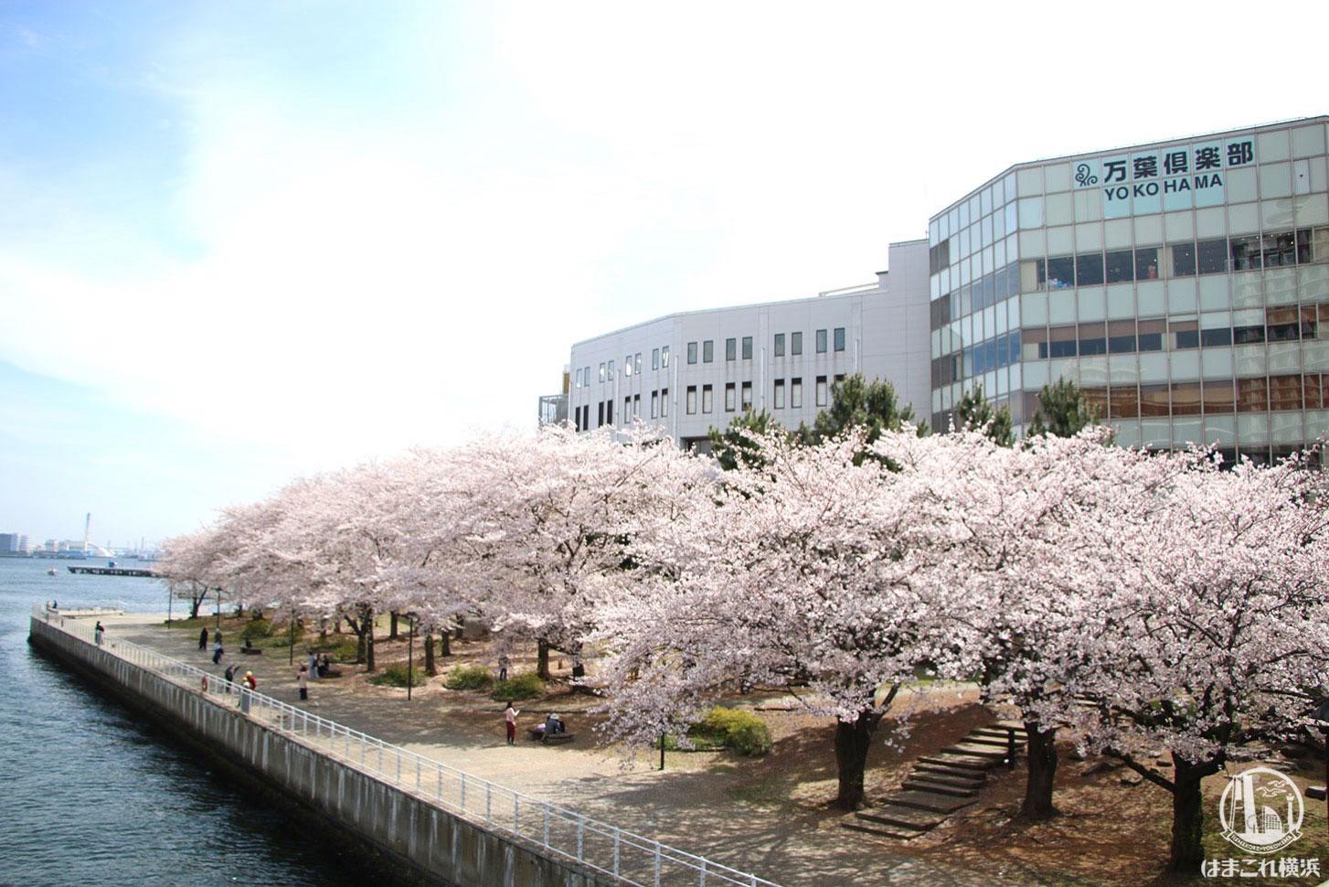 みなとみらい 過去撮影の桜