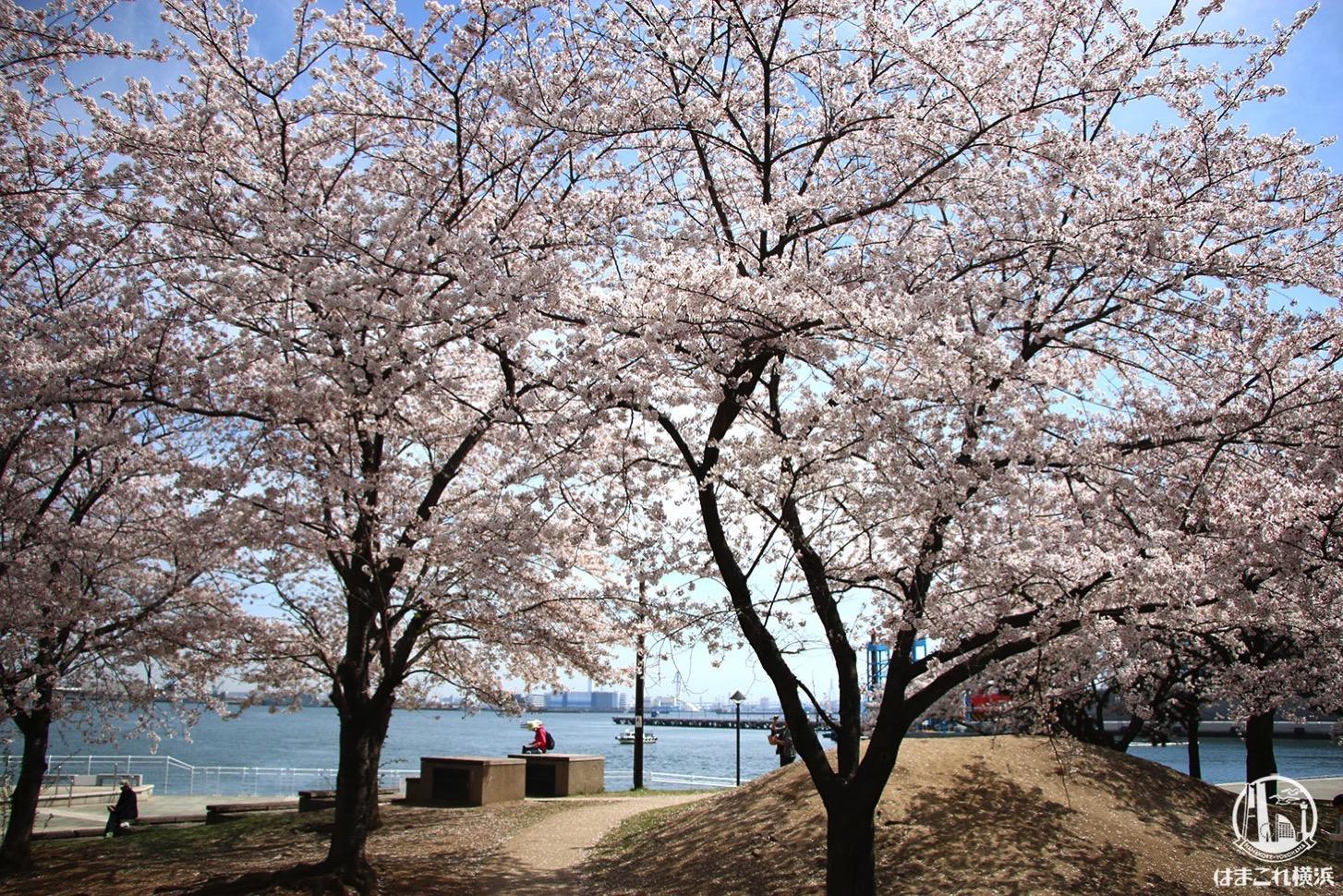 カップヌードルミュージアムパーク(新港パーク)桜