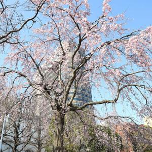 2020年 山下公園の枝垂れ桜がまもなく見頃!降り注ぐように咲く桜で春感じる