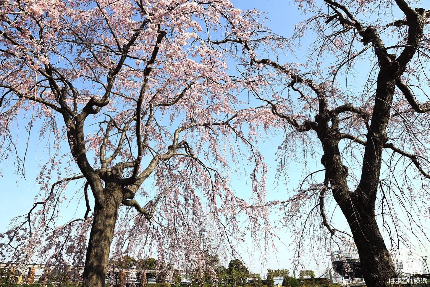 2020年 山下公園の枝垂れ桜