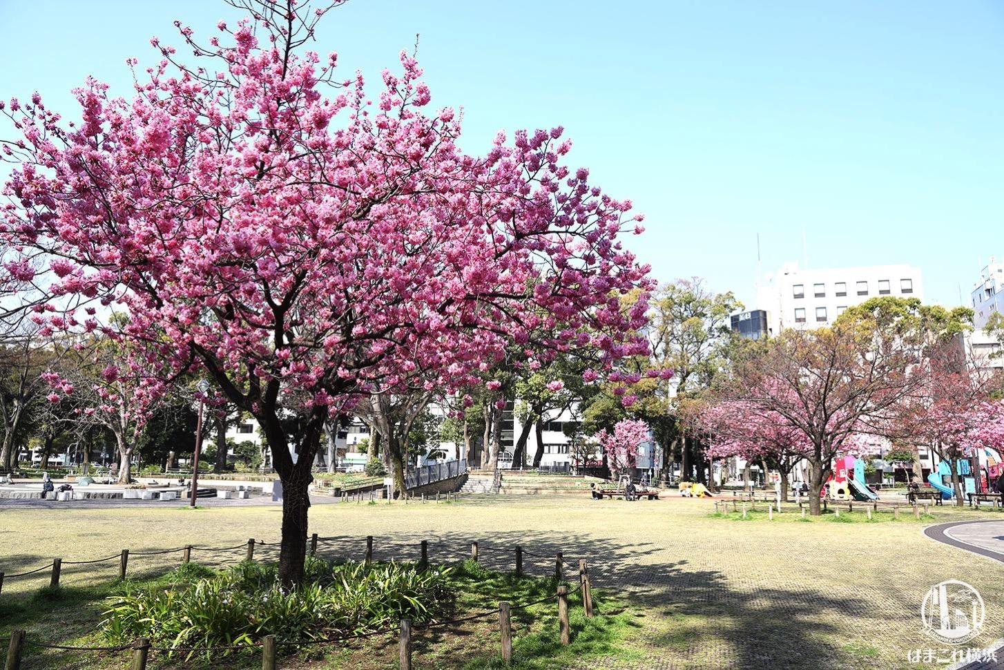 横浜公園 横浜緋桜(ヨコハマヒザクラ)