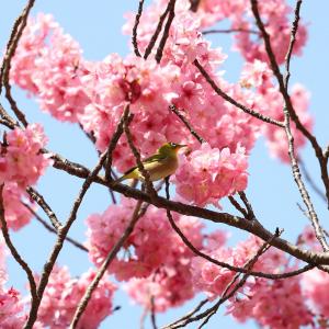 横浜公園で早咲きの横浜緋桜が満開!濃いピンクのボンボン桜かわいい