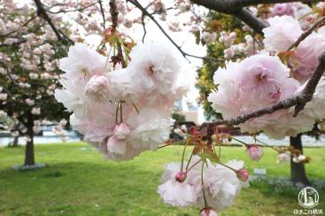 横浜赤レンガ倉庫そばの八重桜、散歩中に偶然見つけて癒された