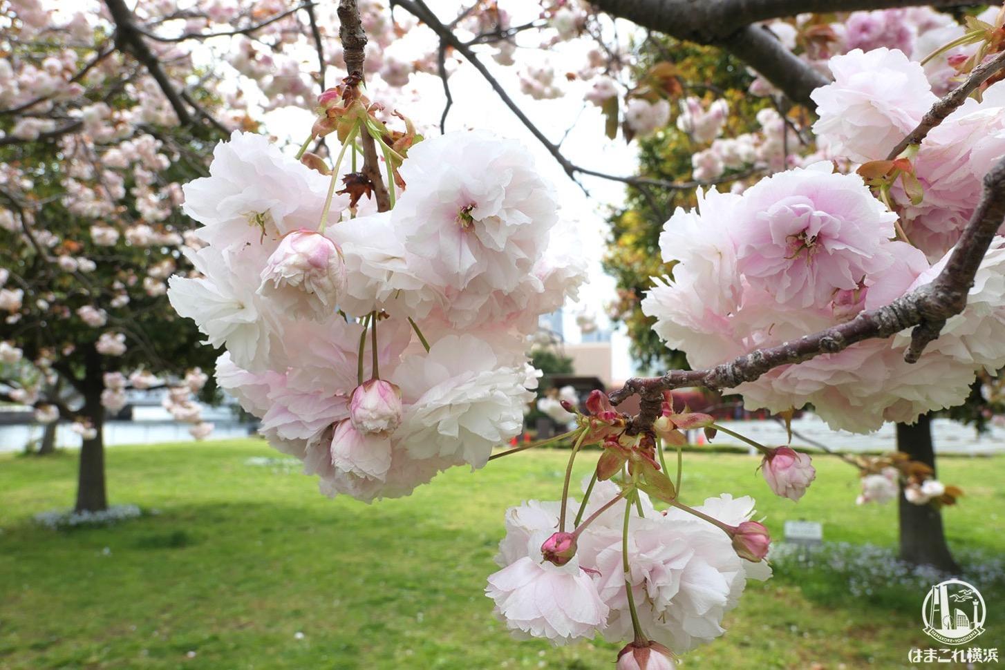 横浜赤レンガ倉庫近くの八重桜、散歩中に偶然見つけて癒された