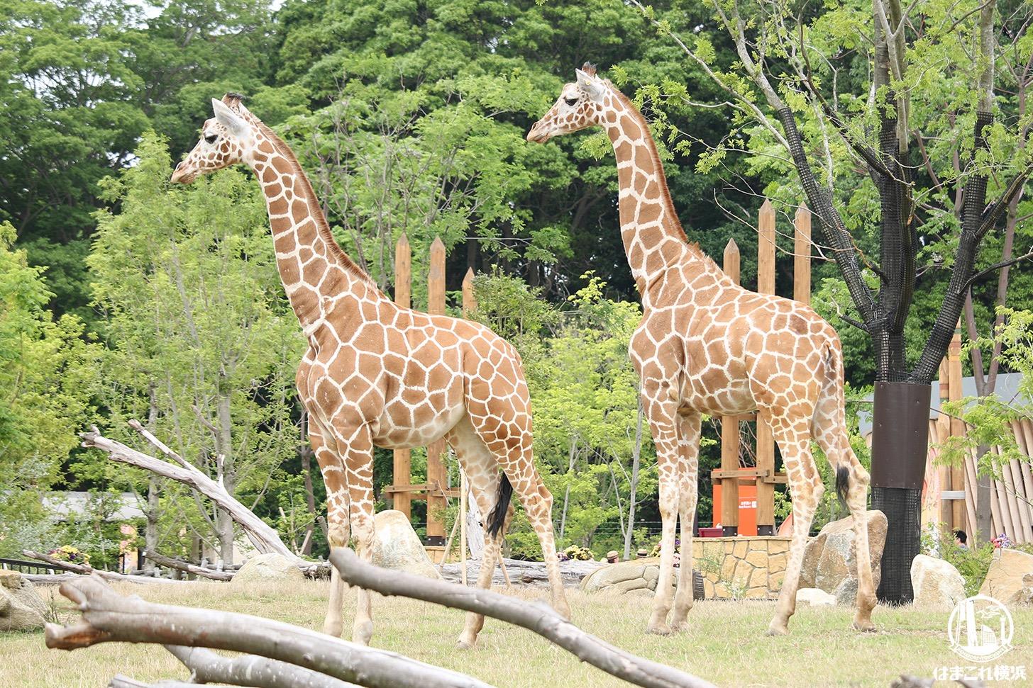 よこはま動物園ズーラシア、入園整理券による事前予約制導入
