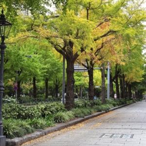 山下公園通りイチョウ並木が色づき始める!横浜紅葉散歩