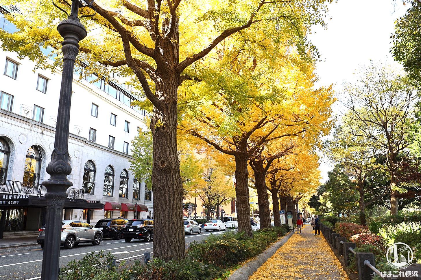 横浜・山下公園通りのイチョウが色濃く紅葉!日本大通りから紅葉散歩