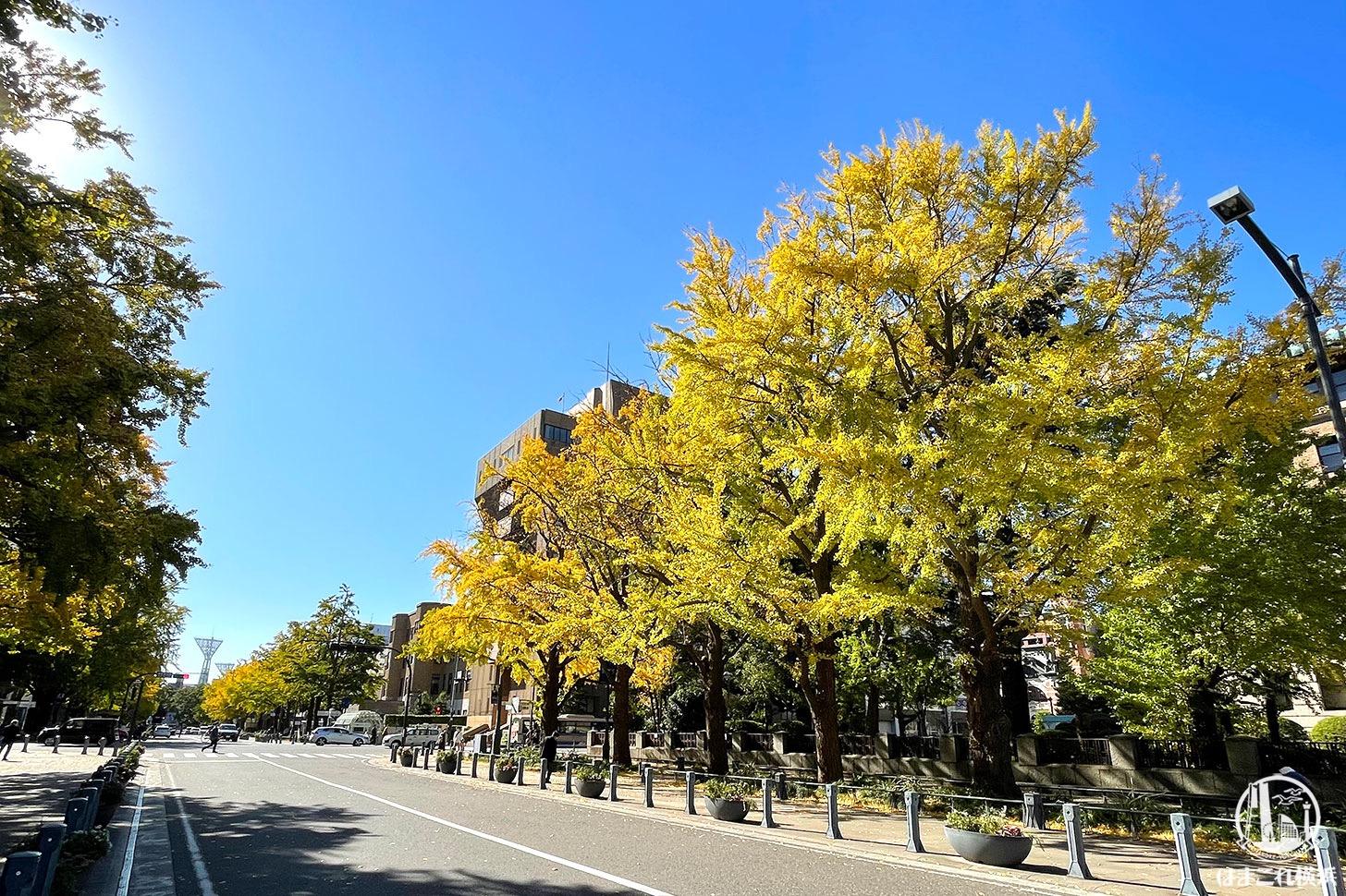 日本大通りのイチョウ
