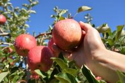 無印良品「不揃いりんご」ジョイナス横浜やニュウマン横浜など全国80店舗で発売!