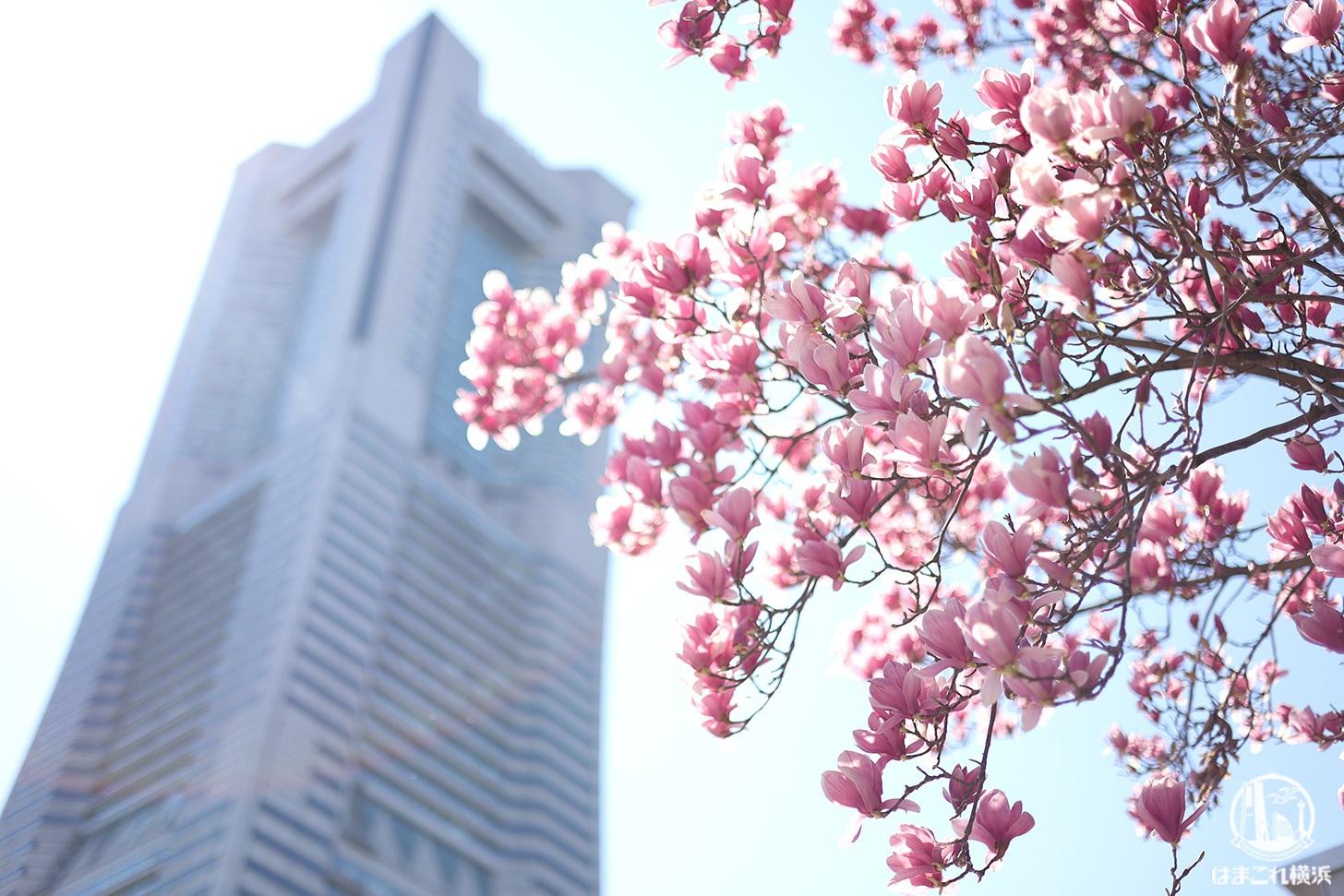 横浜・グランモール公園のモクレンが美しい!ピンク色の花々眺めて春散歩