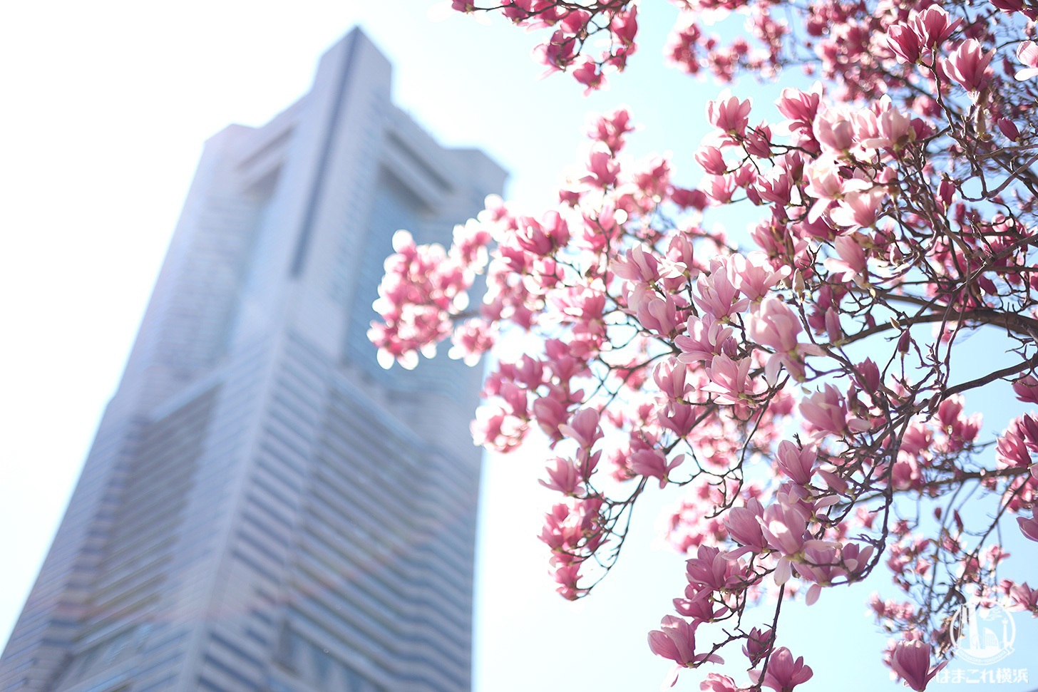 横浜ランドマークタワーとモクレン