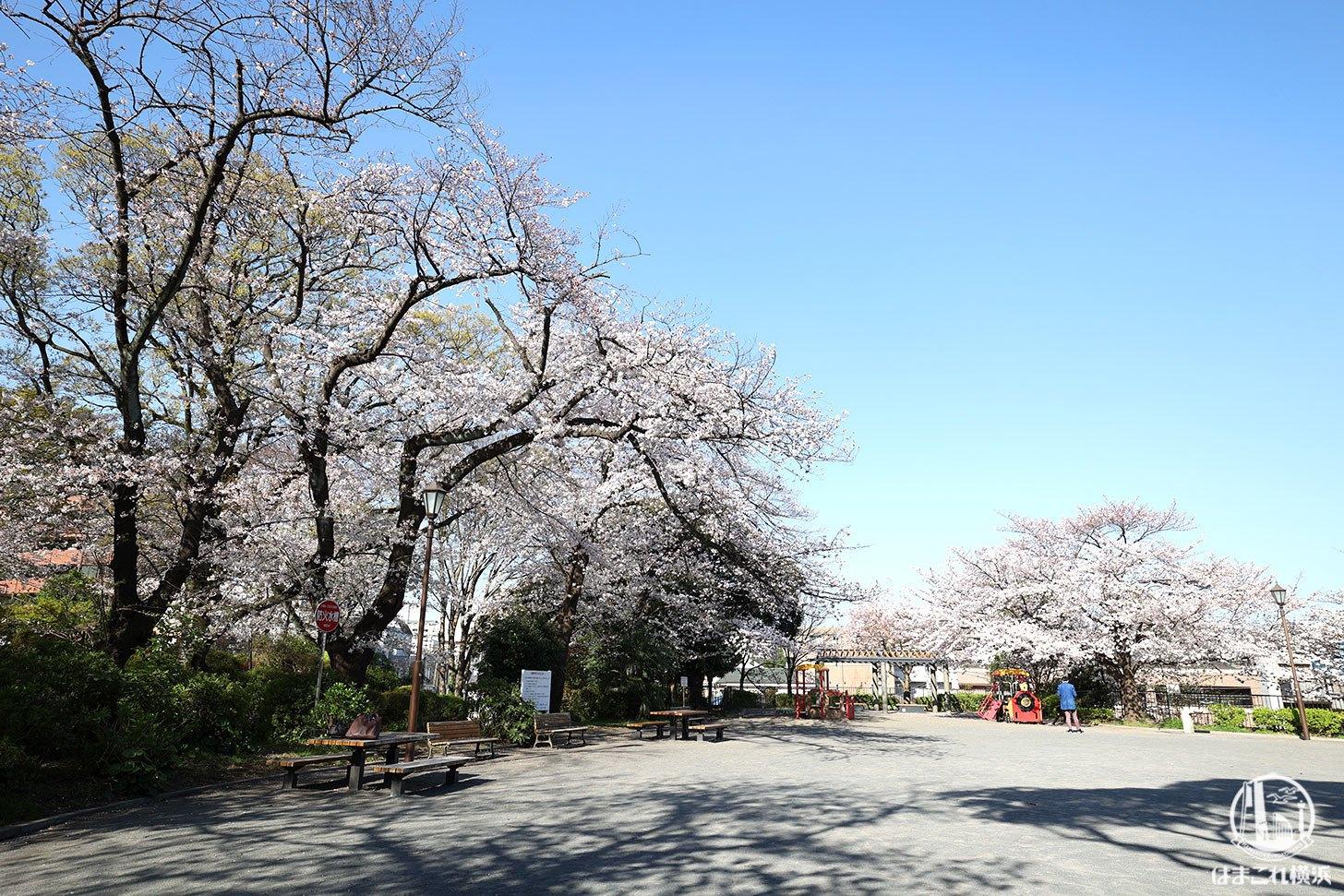掃部山公園(かもんやま)の桜