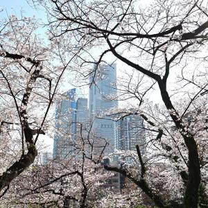 横浜・掃部山公園(かもんやま)の桜も素晴らしい!高台からみなとみらいと桜コラボ