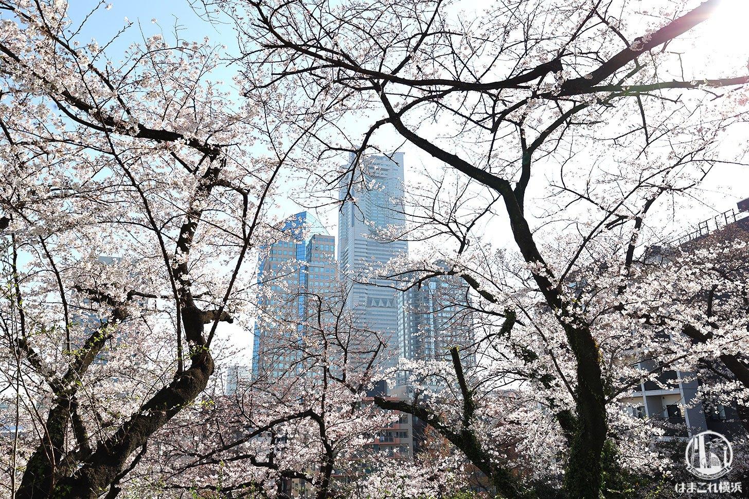 横浜・掃部山公園(かもんやまこうえん)の桜も素晴らしい!高台からみなとみらいとのコラボ