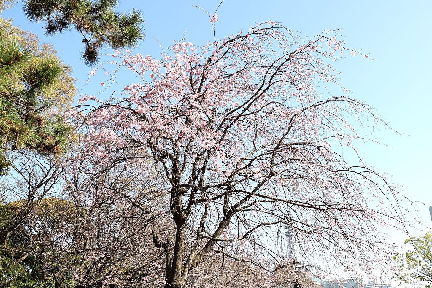 広場の枝垂れ桜