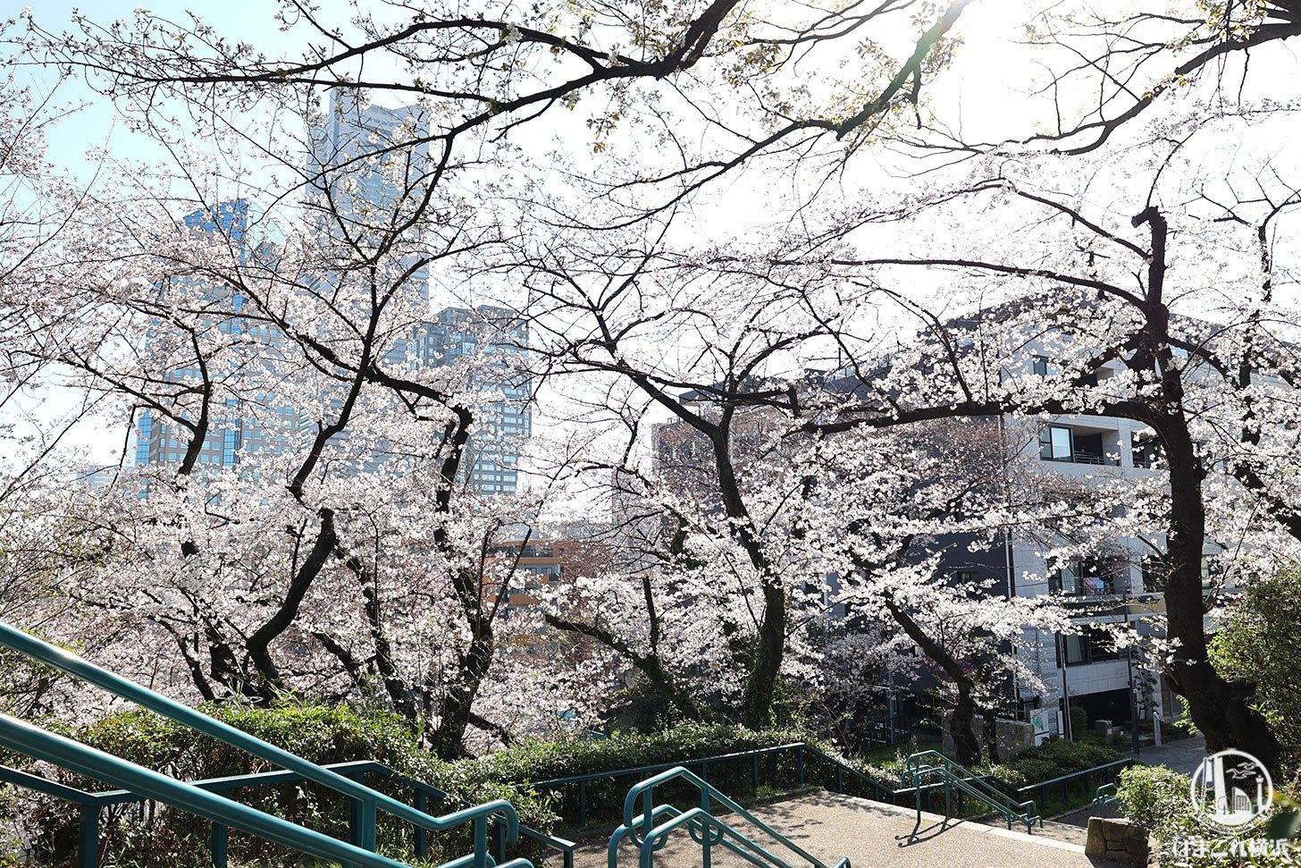 掃部山公園(かもんやま)の桜と横浜ランドマークタワー