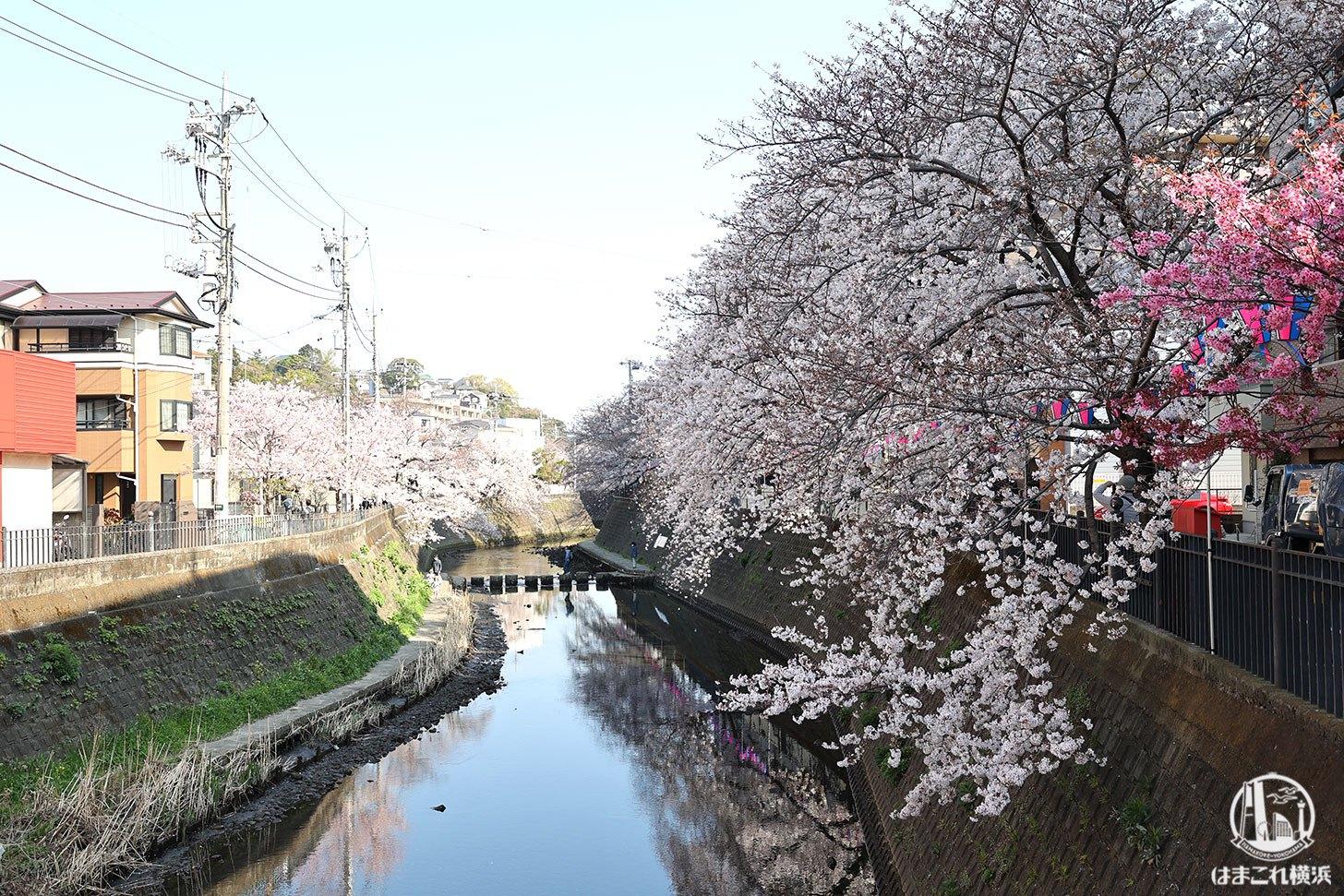 横浜弘明寺商店街「観音橋」から見た桜
