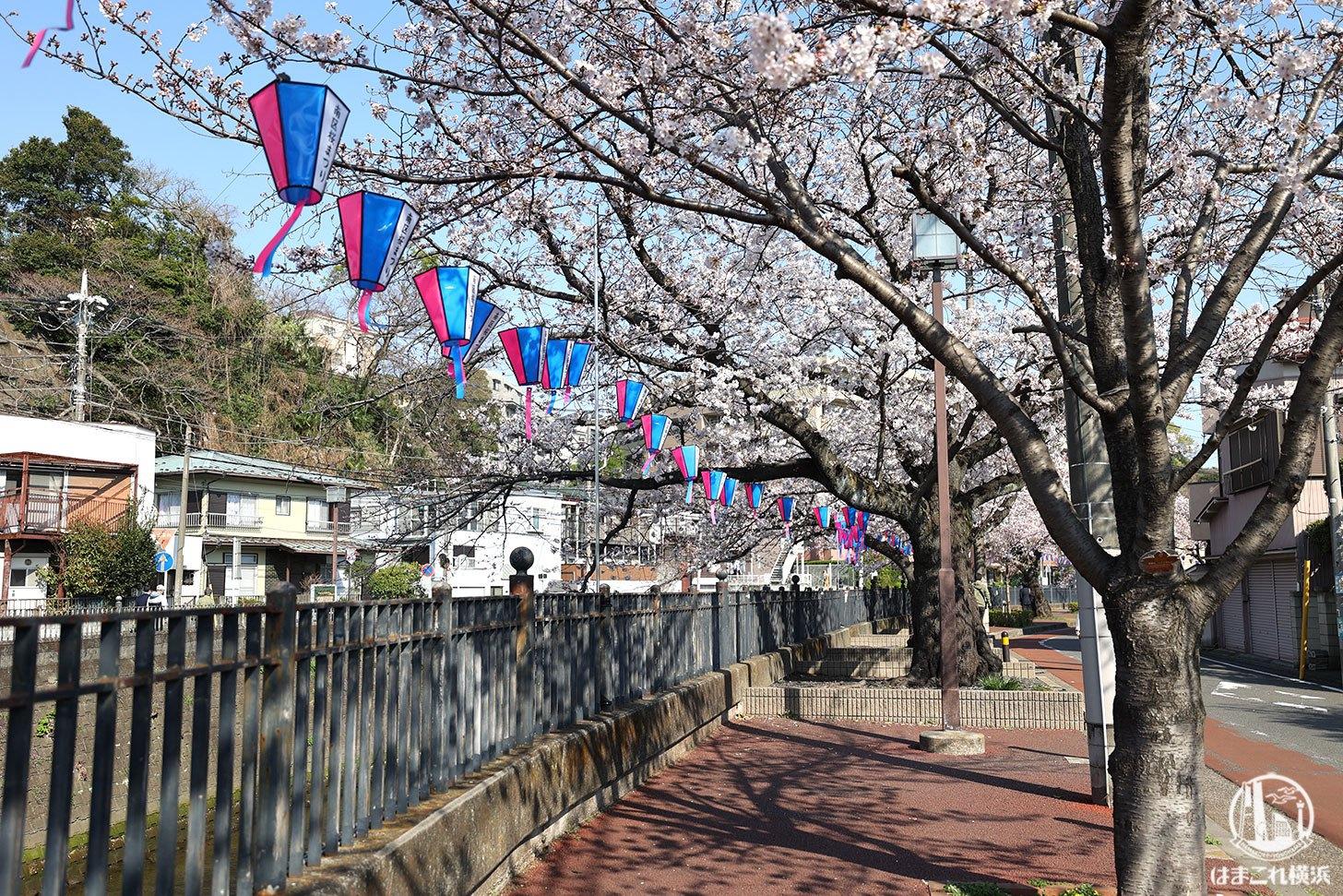 横浜弘明寺商店街「観音橋」周辺の桜