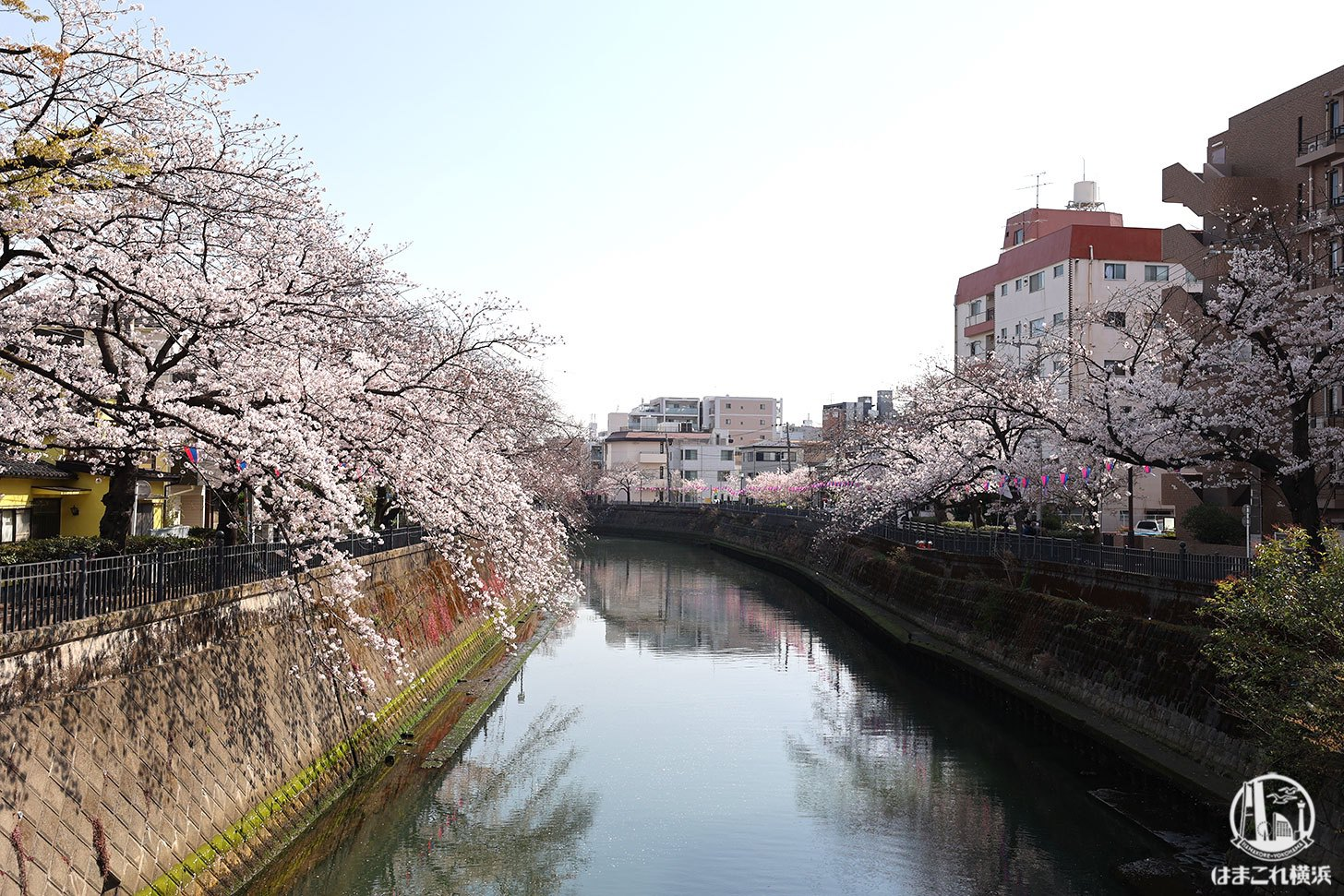 橋の上から見た大岡川沿いの桜