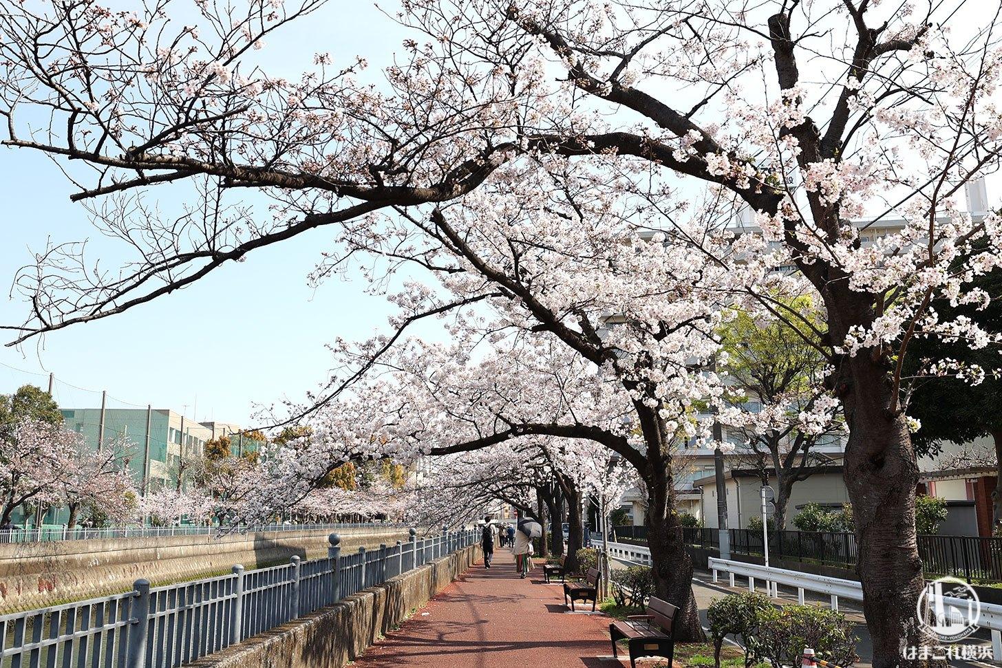 井土ヶ谷橋周辺の桜