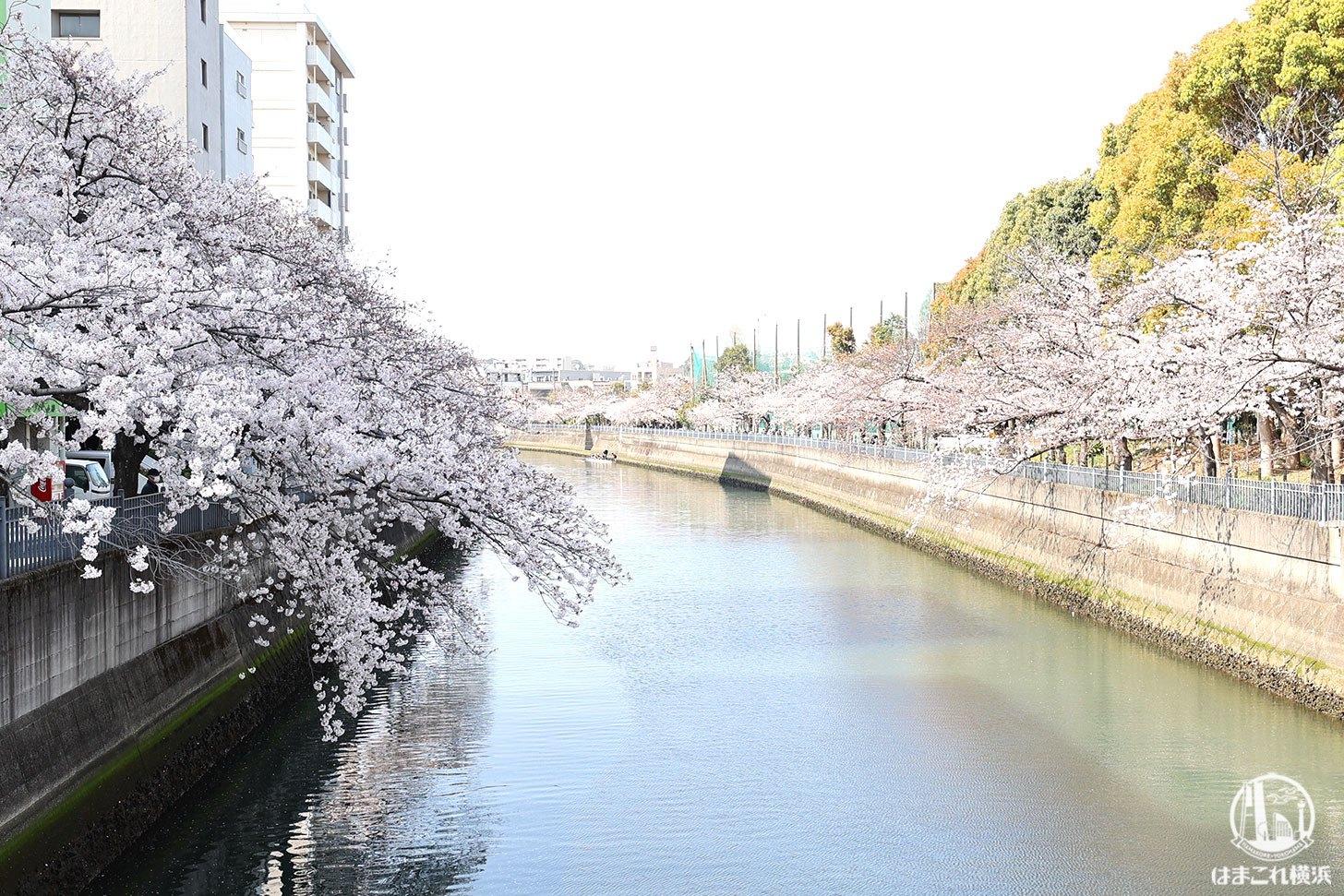 清水橋から見た桜