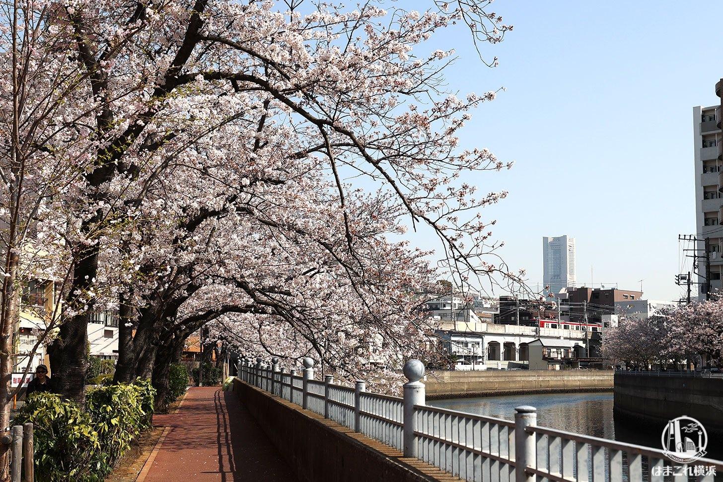 山王橋周辺から見た横浜ランドマークタワーと桜