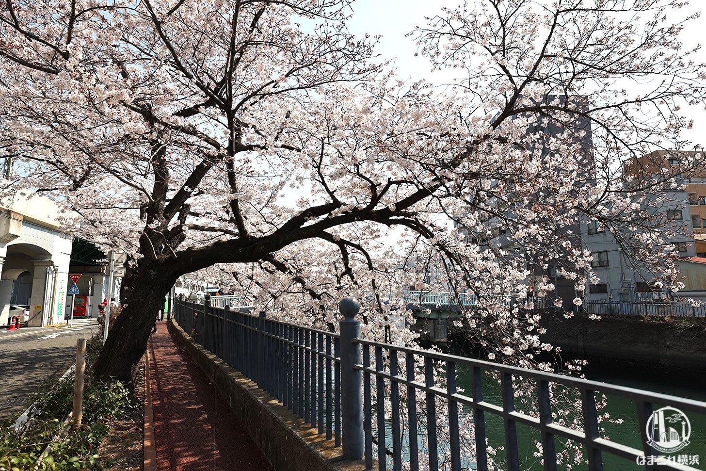 橋周辺の桜