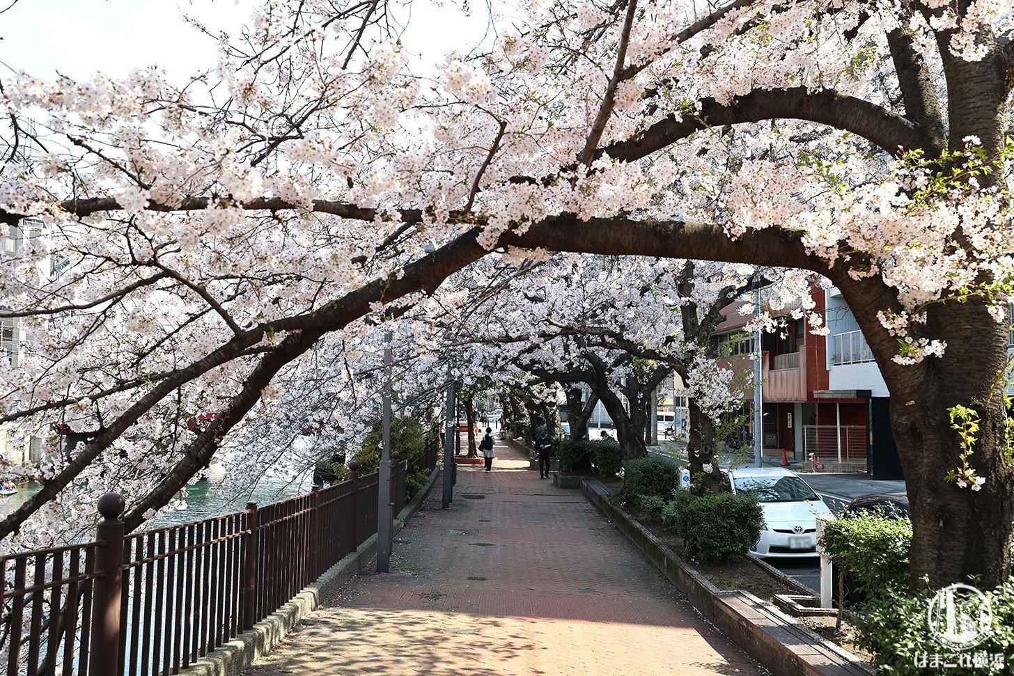 栄橋と太田橋の間の桜