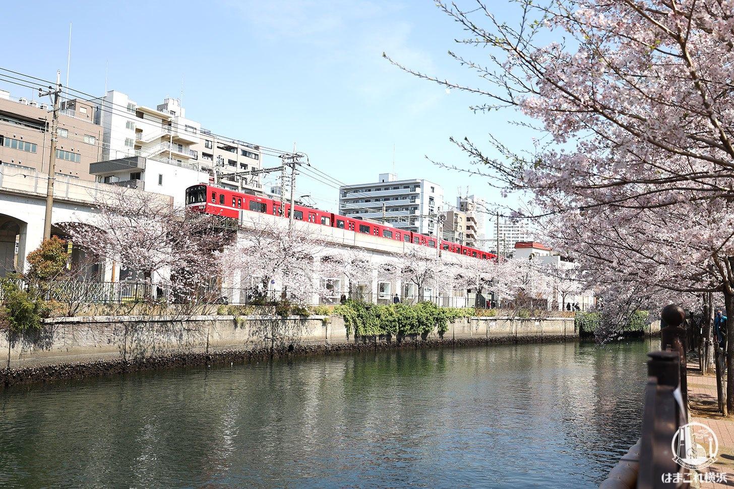 太田橋周辺の桜