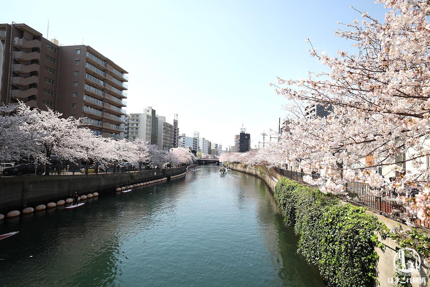 吉浜橋から見た桜