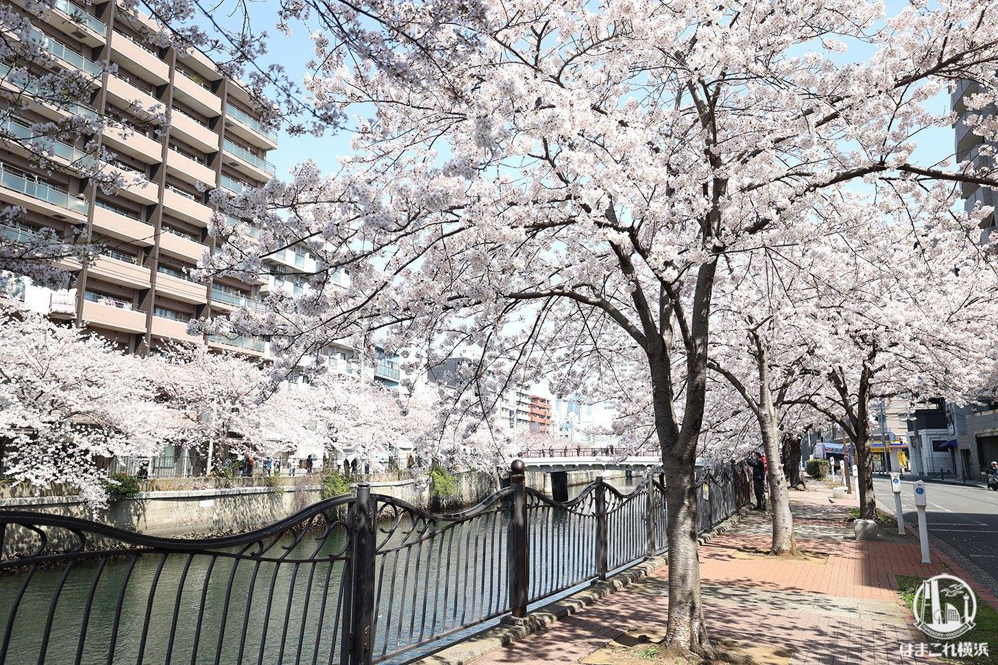 大岡川の桜が圧巻すぎて感動!桜並木4キロ以上・弘明寺から桜木町までの散歩マップ