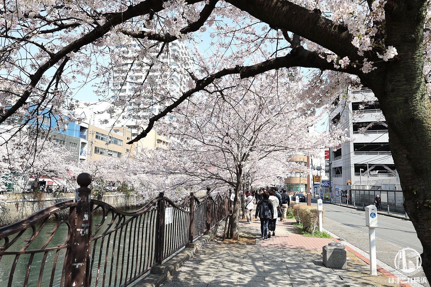 横浜ランドマークタワーを目指す道中の桜
