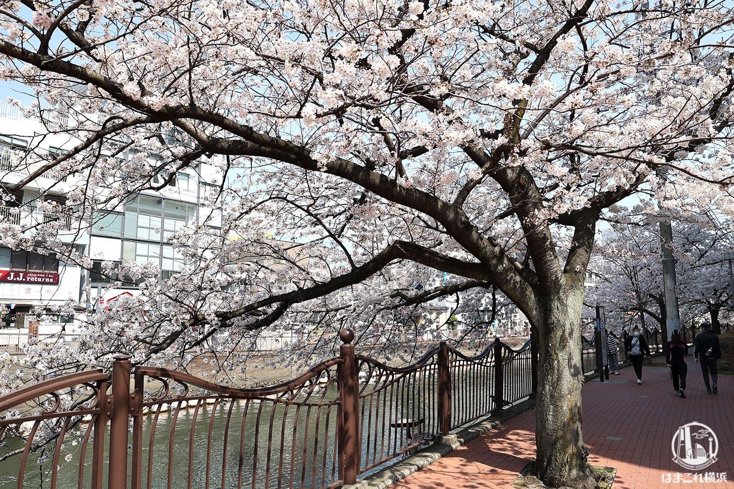 長者橋近くの桜