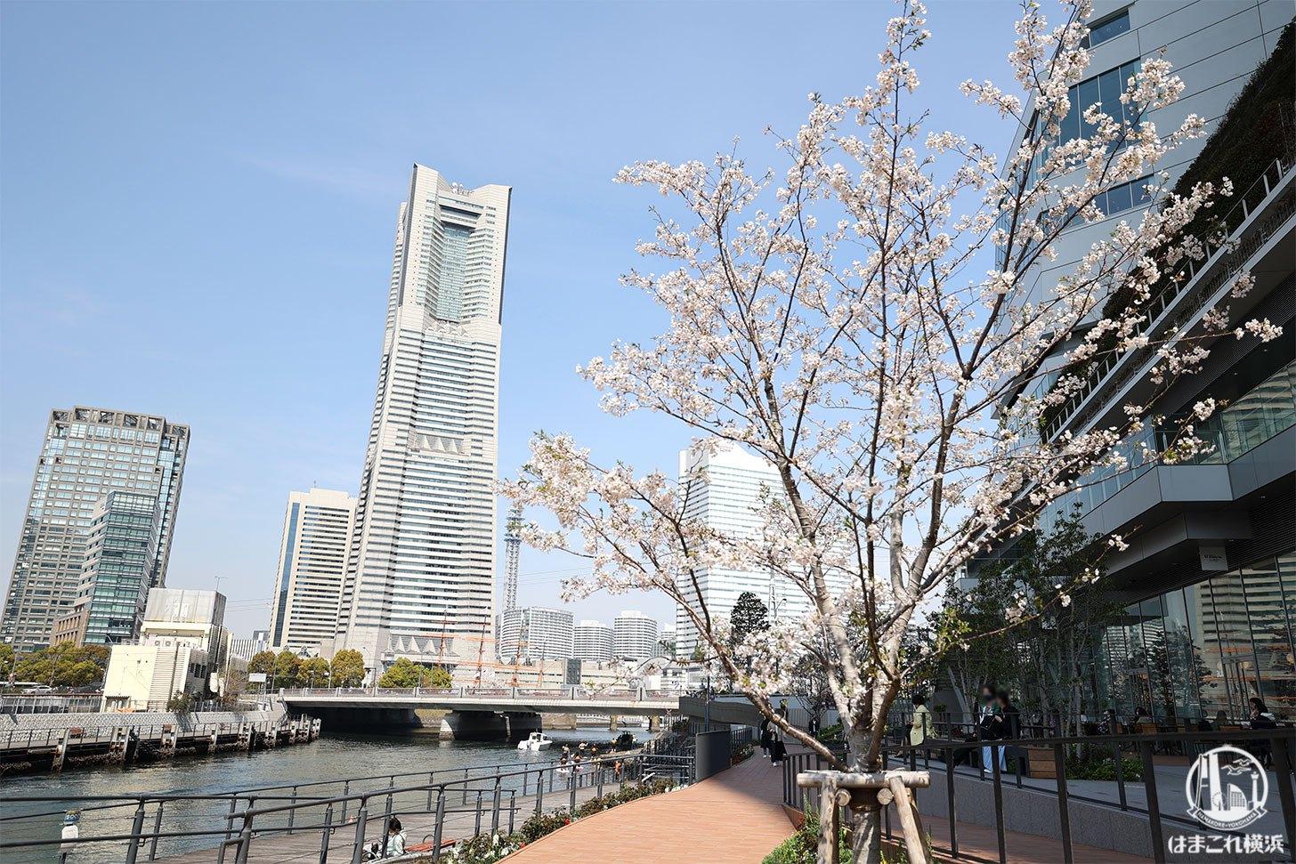 大岡川沿い横浜市庁舎横のデッキから見た横浜ランドマークタワーと桜