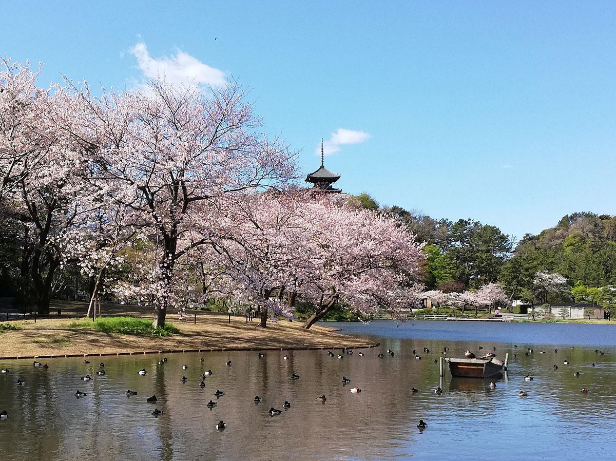 三溪園で桜観賞プログラム!開園前入園可能なチケット販売や平日限定カフェ企画