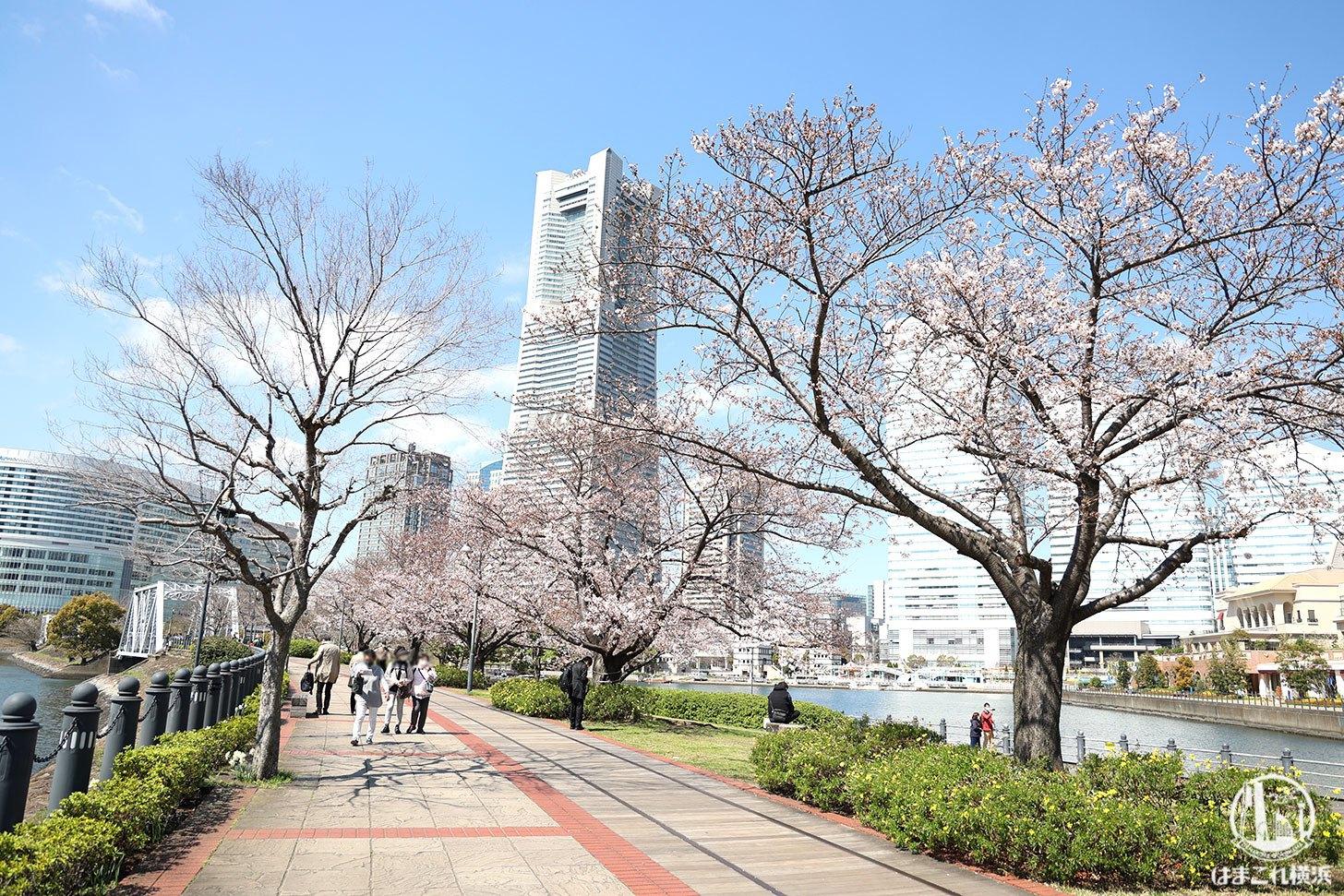 汽車道の桜開花状況
