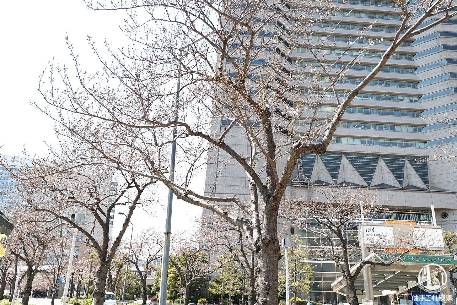 さくら通りの桜開花状況