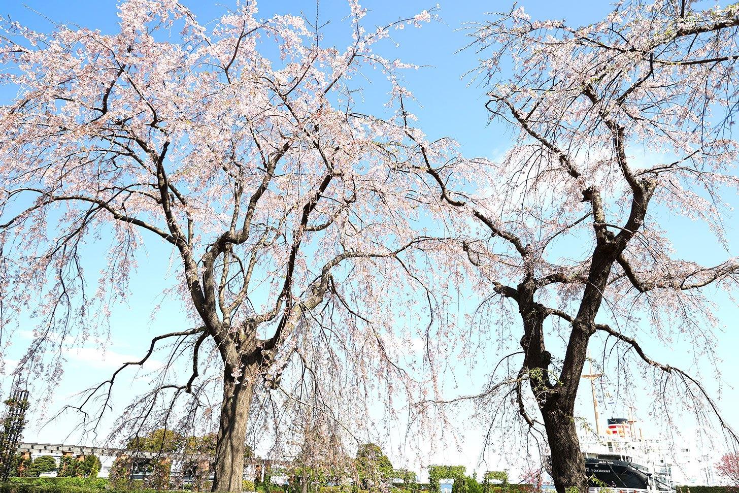 山下公園「しだれ桜」見頃は逃したけど春の訪れに癒される!