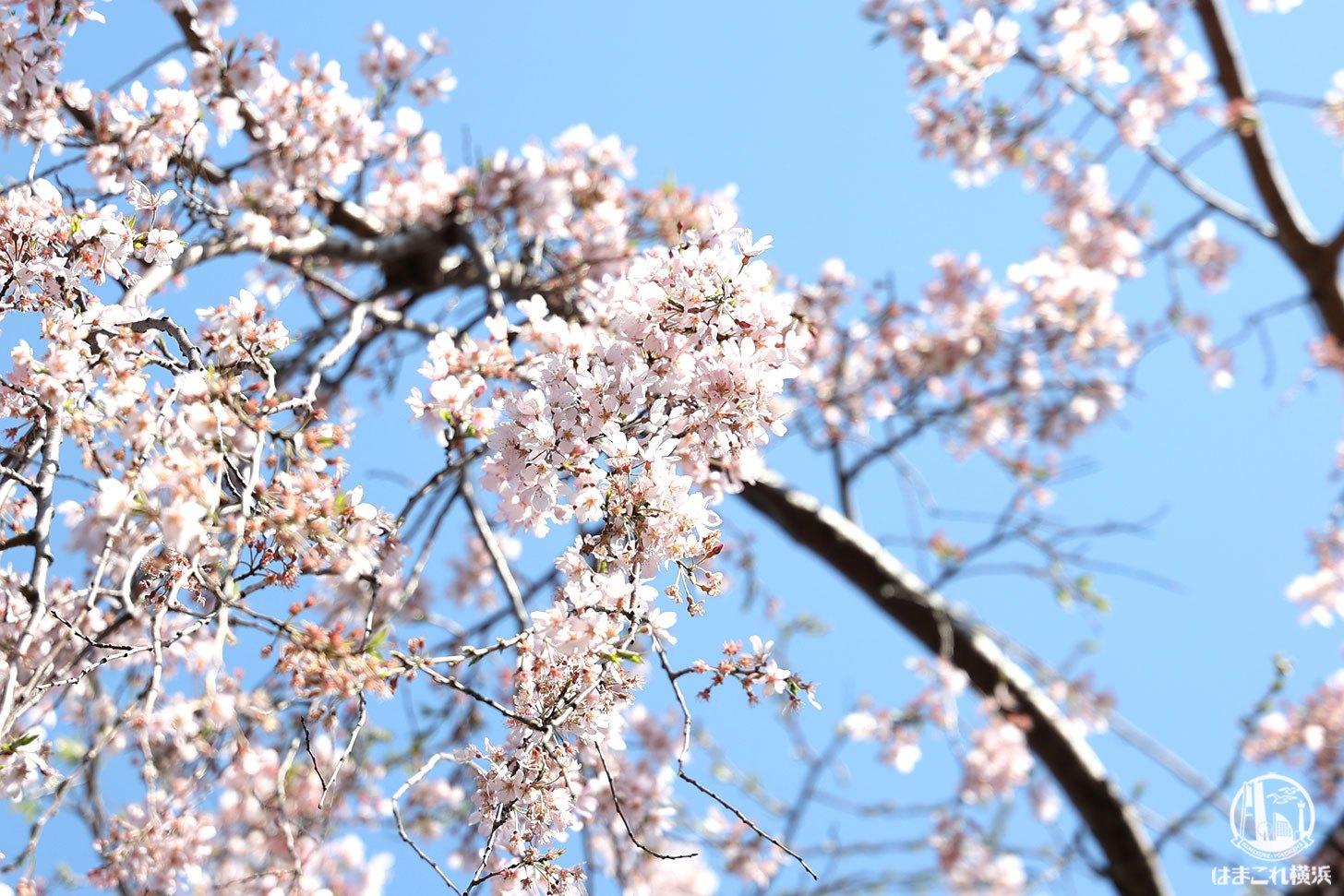 山下公園 しだれ桜 葉桜