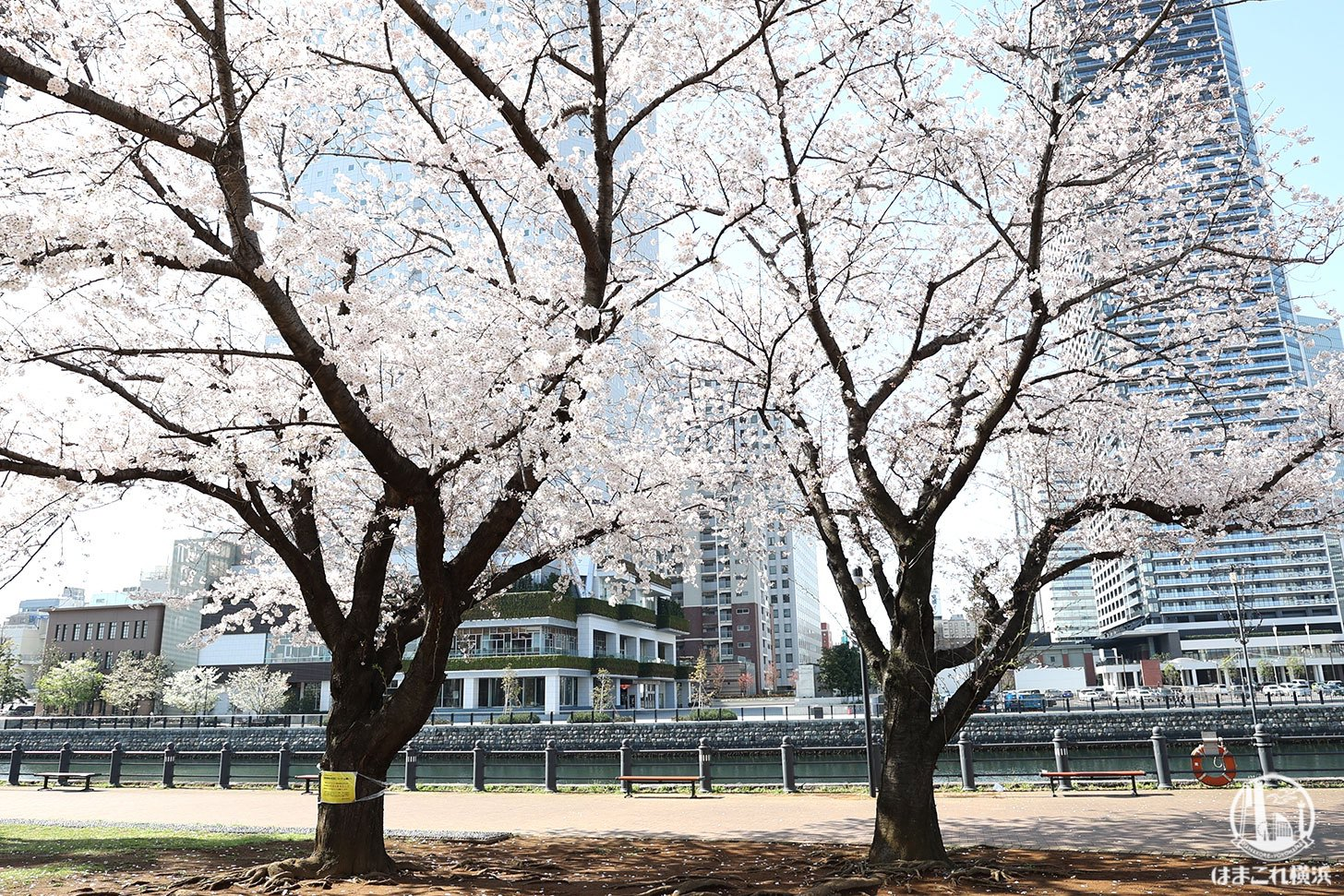 汽車道の桜