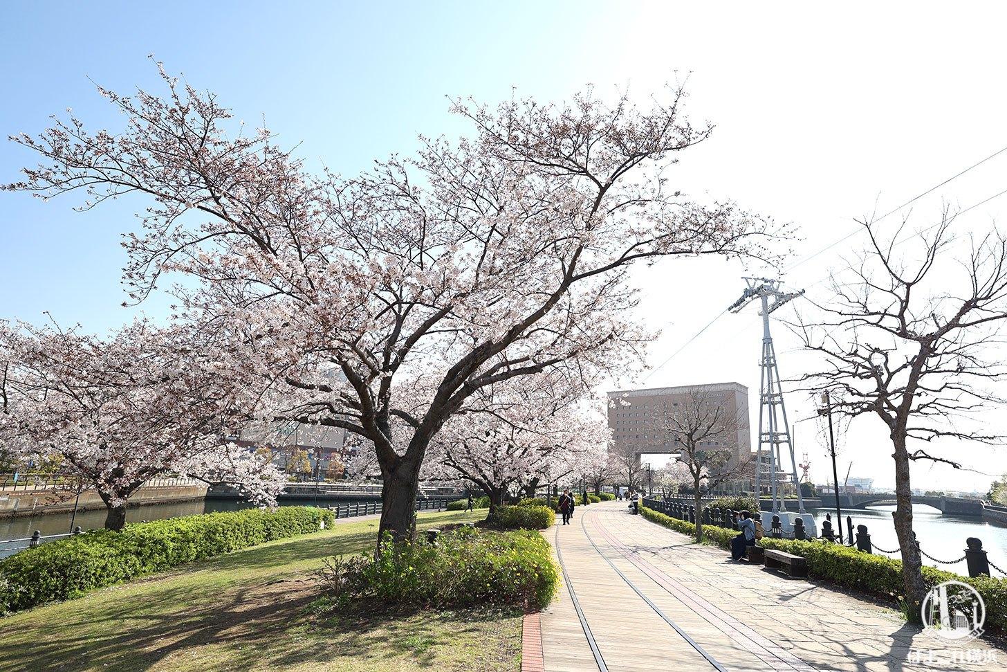 汽車道の桜とロープウェイ