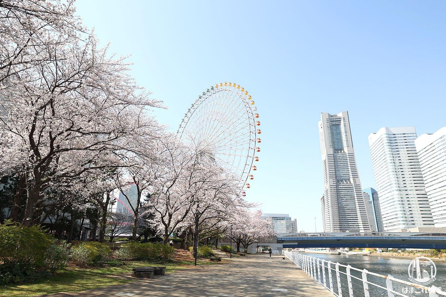 新港パーク(カップヌードルミュージアムパーク)の桜