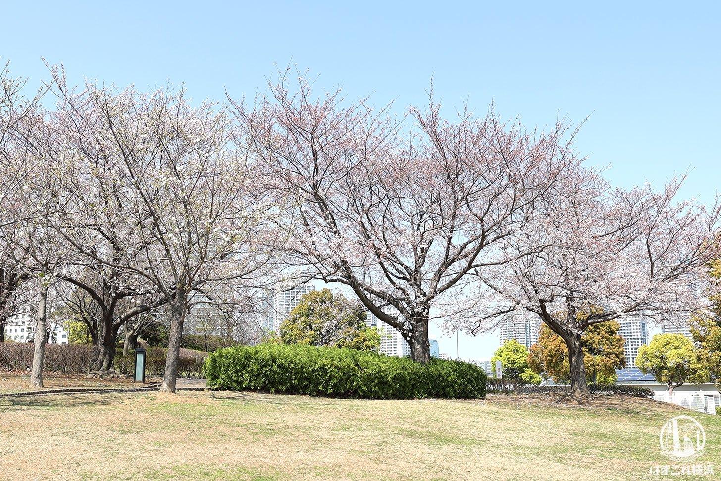 臨港パークの桜