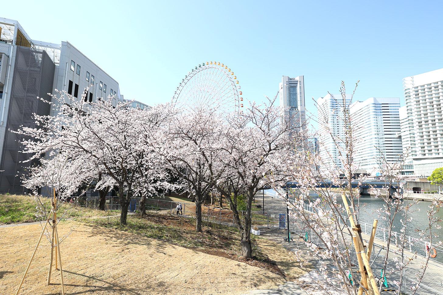 女神橋から見た桜