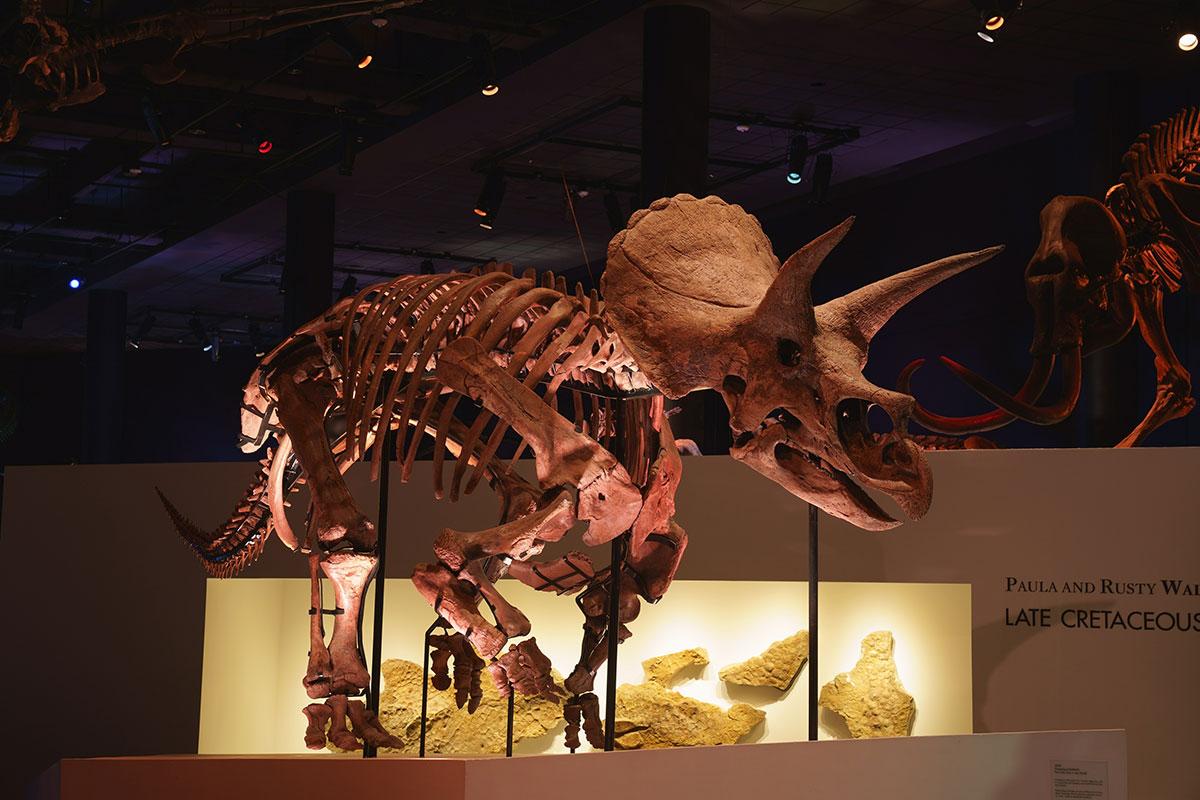 トリケラトプスの実物化石「レイン」