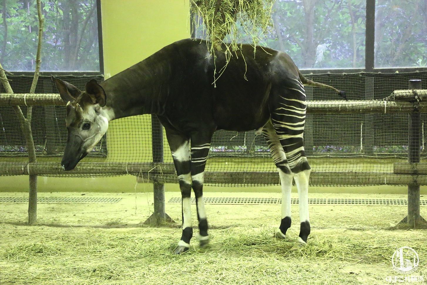 よこはま動物園ズーラシア オカピ
