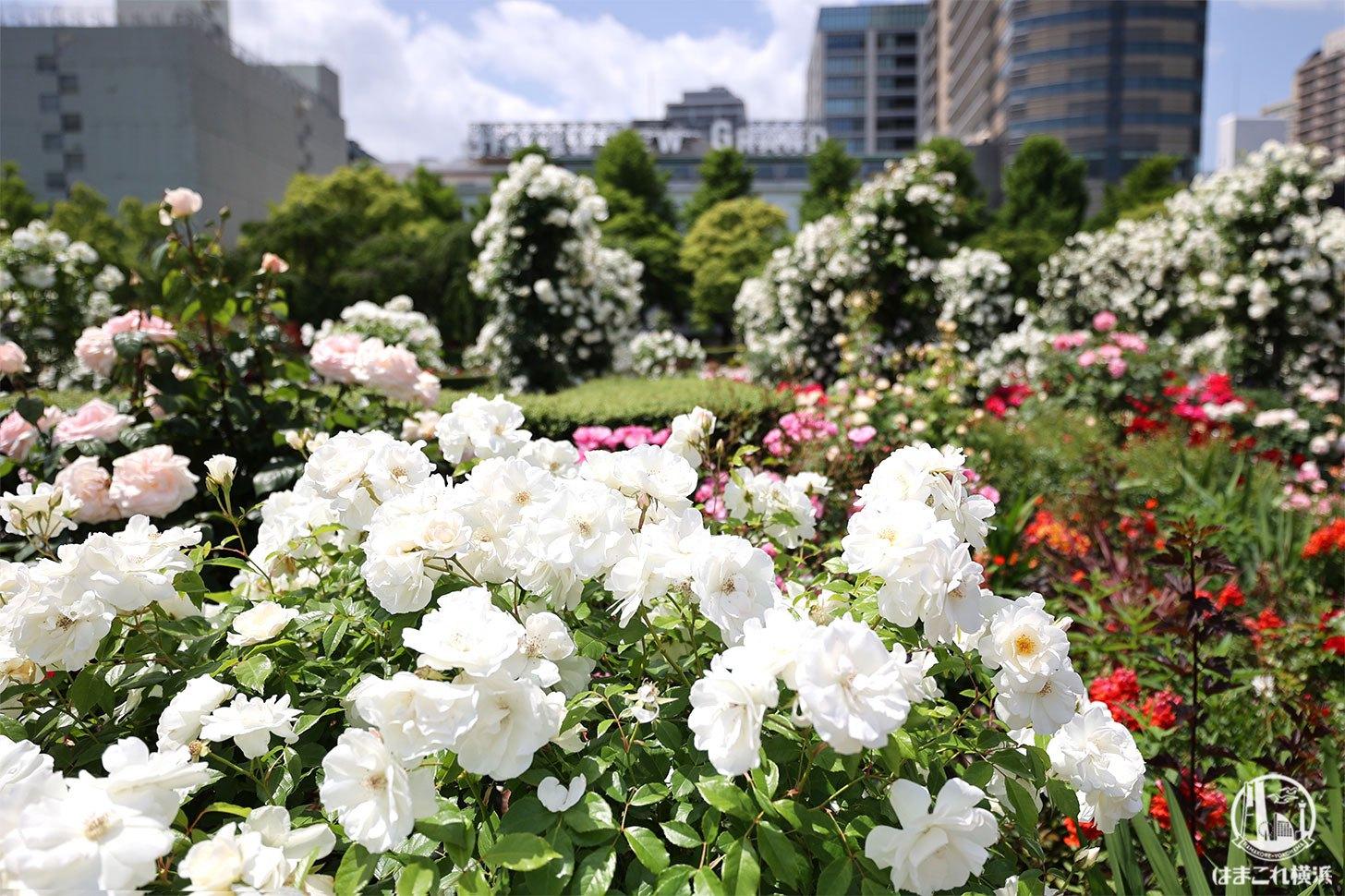 山下公園のバラが美しすぎた!圧倒的ボリューム・彩り豊かなバラに囲まれ癒しの散歩