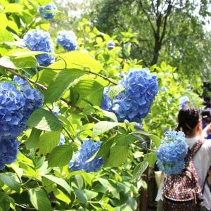 北鎌倉「明月院(あじさい寺)」アジサイ散策!平日の混雑具合と紫陽花フォト