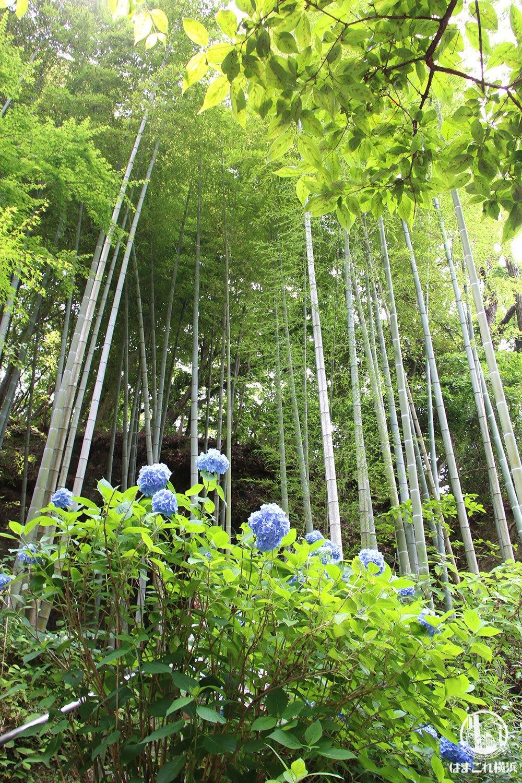 明月院(あじさい寺)竹とアジサイ